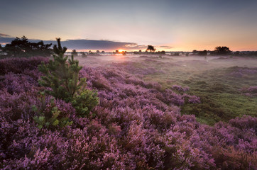 sunrise over flowering pink heather