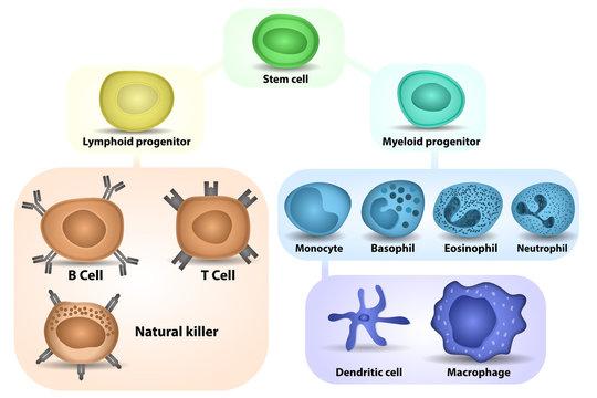 White Blood cell formation