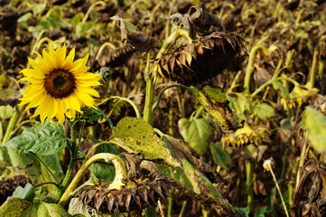 sunflower overblown