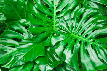 Philodendron monstera obliqua, green leaf background
