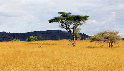 Acacia tree on african savanna