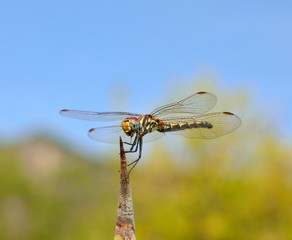 Dragonfly sympetrum in balance on agave spike