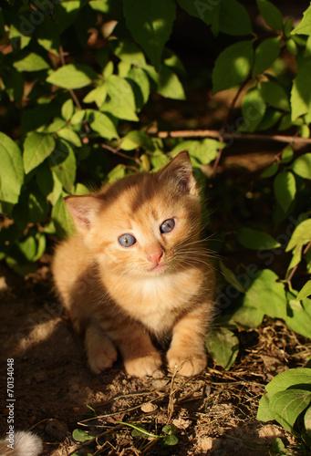 Kitten Redhead 14