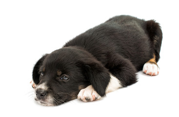 puppy isolated