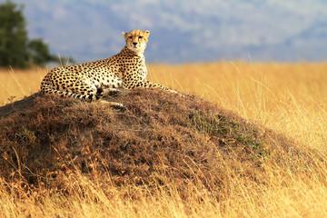 Cheetah on the Masai Mara in Africa