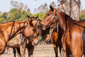 Polo Horse Ponies