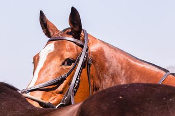 Polo Horse Ponies Portrait