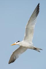A Royal Tern (Thalasseus maximus) banking in flight