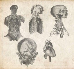 vintage anatomical image