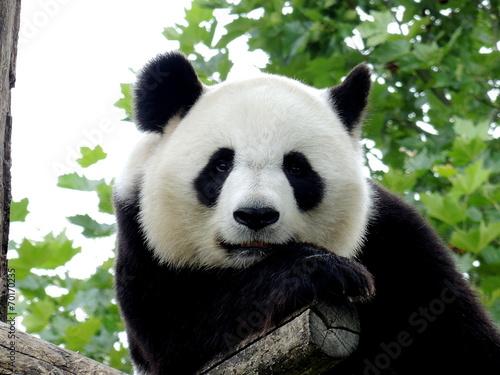 panda g ant 7 photo libre de droits sur la banque d 39 images image 70170235. Black Bedroom Furniture Sets. Home Design Ideas