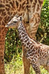 Newborn Giraffe on the Masai Mara