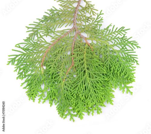 Leaves of pine t...