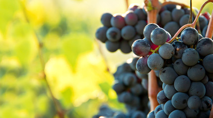 Closeup on bunches of black grapes in vineyards Fototapete