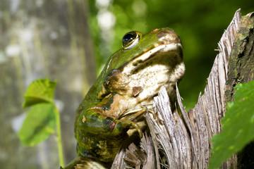 Frog bufo bufo