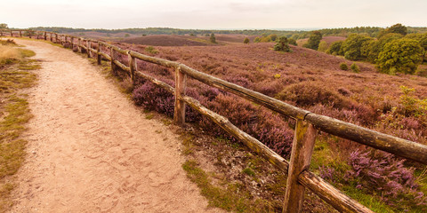 Blooming heathland with hiking trail