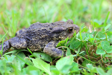 The brown Toad
