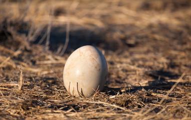 Uovo di struzzo