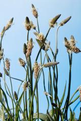 Fototapete - Blüte und Blätter Spitzwegerich (Plantago lanceolata)