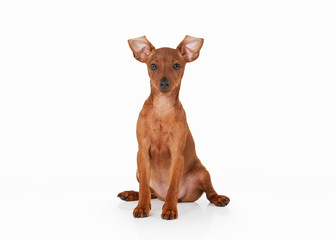 zwergpinscher puppy on white background