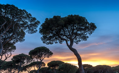 Italian Sunset on the background of Italian pines