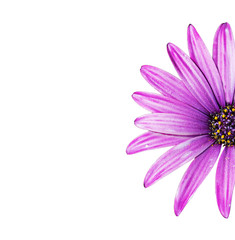 purple daisy on white
