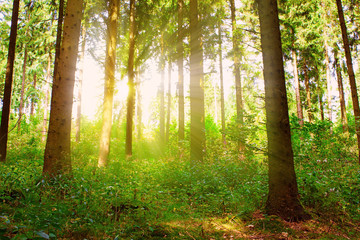 Sunbeams pour through trees in forest.