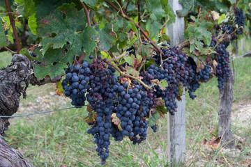 Wall Mural - Vignes, raisins rouges