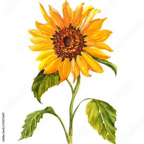Fototapete Sunflower isolated on white background