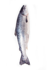 Atlantic Salmon (Salmo solar) whole fish.