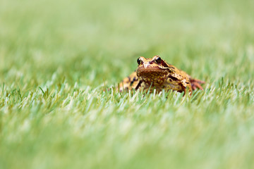 Front View of Common Frog in Grass