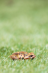 Side Profile View of Common Frog in Grass