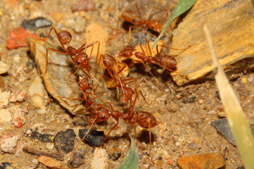 red ant meeting