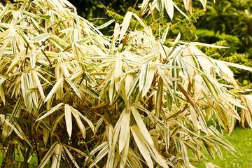 white bamboo leaf