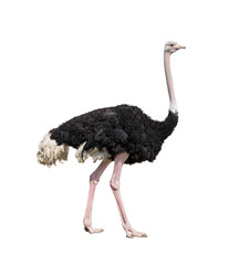 Fond de hotte en verre imprimé Autruche ostrich full length isolated on white