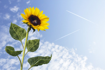 Sunflower with bee against the blue sky