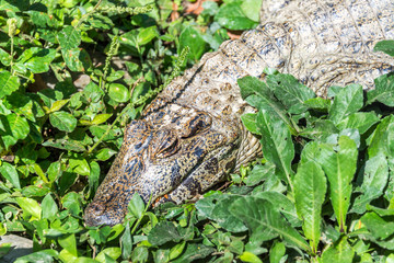 Young Caiman in Bolivia