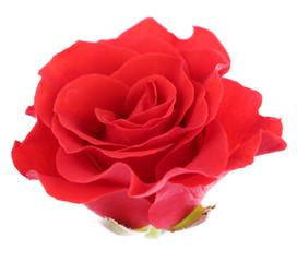 beautiful rose flower, isolated on white