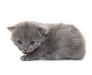 gray little kitten