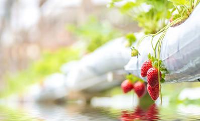 Strawberry at hydroponic farm
