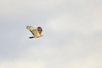 ハチクマ飛翔