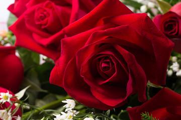 Holland roses close up