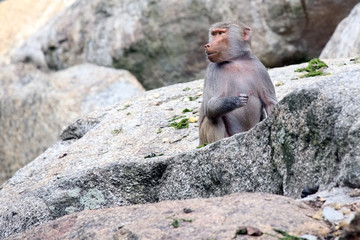 Baboon sitting behind a rock