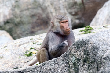 Baboon sitting behind a rock and looking down