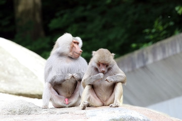 Two baboons sitting on a rock