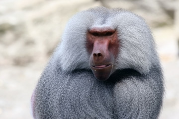 Close-up portrait of a baboon