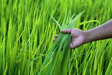 Green rice field with farmer hand