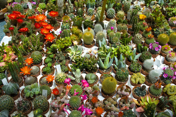 Cacti and succulents at the flower fair