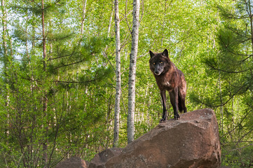 Wall Mural - Black Wolf (Canis lupus) Stands on Top of Den Horizontal