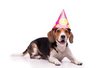 Birthday Beagle, isolated