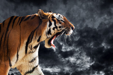 Wild tiger roaring during hunting. Cloudy sky